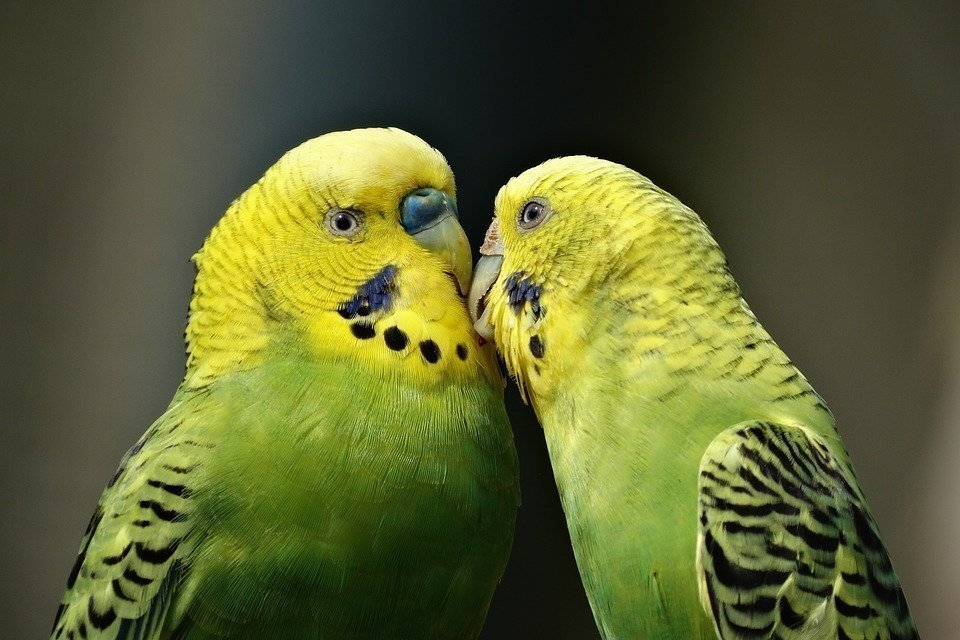 Τι θα γίνει με τους πράσινους παπαγάλους στη Μαδρίτη;